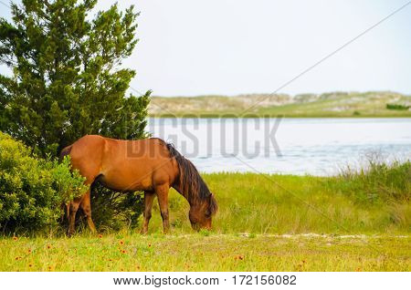 A wild horse grazing in the grass