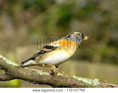 Brambling as seen in the UK during winter