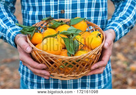Basket Of Mandarins In The Hands Of A Man