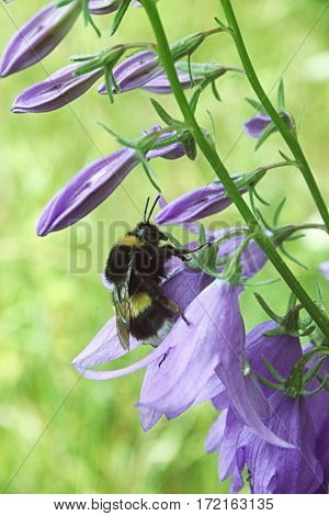 The Bumblebee In A Flower Of Beautiful Lilac Bluebell