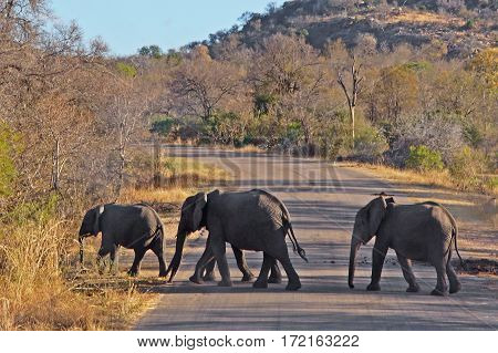 a herd of four elephants pass a road and enters into the bush