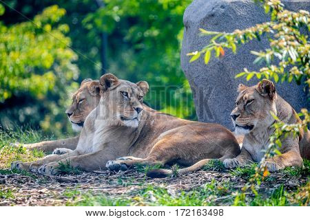 Pride of lions or Panthera leo resting in shade of tree
