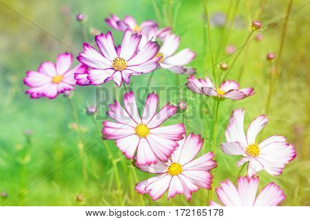 vintage image of colorful cosmos flower in the garden