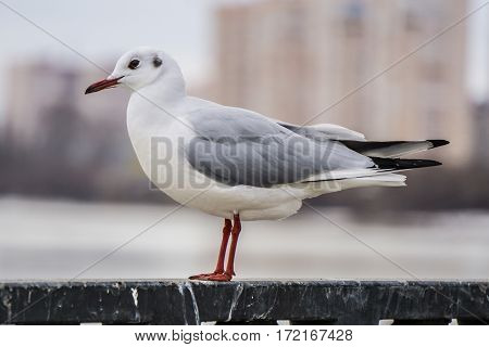 Gull on iron railing on river in cloudy day and big cityscape background