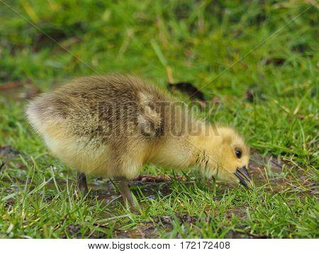 Greylag goose gosling in a pasture ( Anser anser )