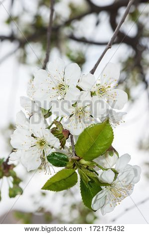 Spring Cherry blossoms. White flowers. Close up photo