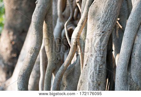 Pattern  of banyan tree root in closeup.