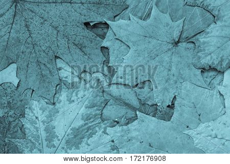 the natural textured background from maple foliage of monotonous blue color