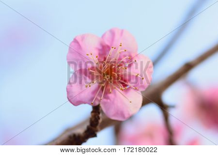 Macro texture of pink Japanese Plum blossoms with blurred background in horizontal frame