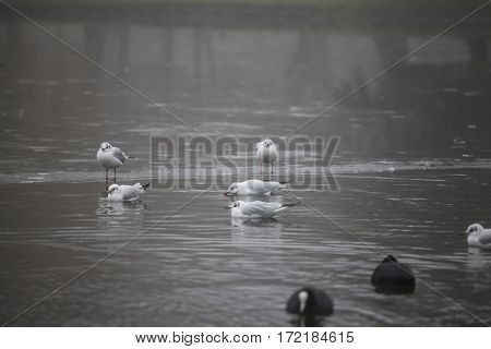 Swans and other birds in autumn park on the frozen lake