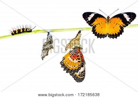 Isolated Male Leopard lacewing (Cethosia cyane euanthes) butterfly caterpillar pupa and emerging with clipping path