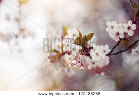 Blossoms of cherry flowers in spring time