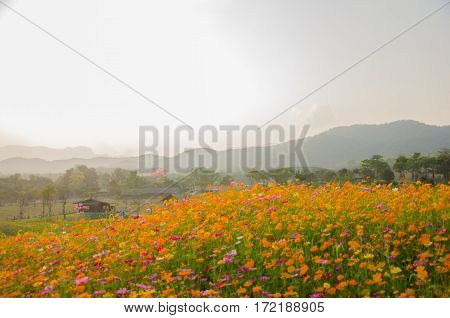 Wildflower Cosmos flora filed while sunset at Singha Park Chiang Rai Thailand.