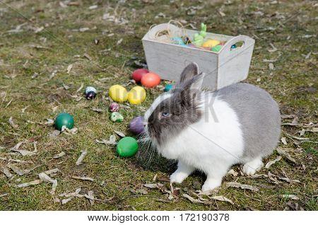 Dutch bunny near the multicolor Easter eggs