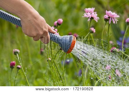hand watering flowers with garden hose in the garden