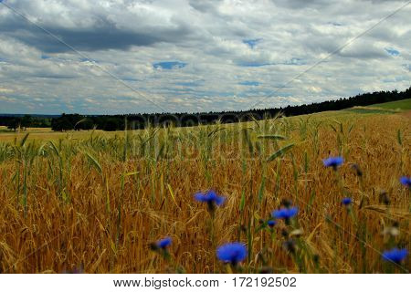 Summer fields of grain and cornflowers background with forest