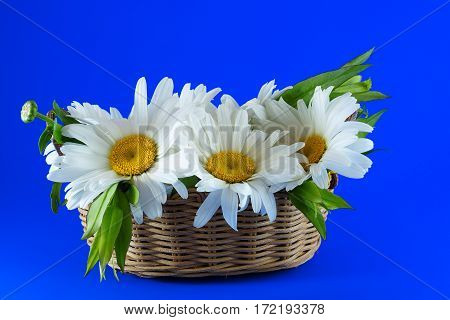 Camomiles in a wicker basket on a blue background. Variant greeting card