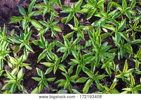 Seedlings of the bell peppers (capsicum). Top view.