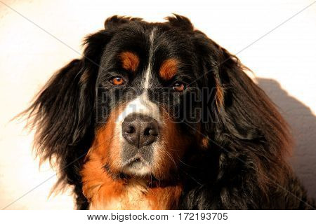 Bernese mountain dog puppy a front view