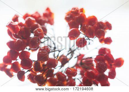 Red berries of the guelder rose (Viburnum opulus) shrub. Close up.