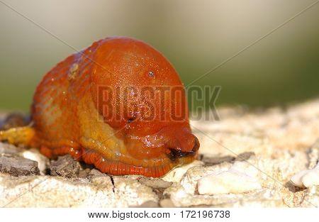Red slug aka Chocolate arion Arion rufus on wooden bark