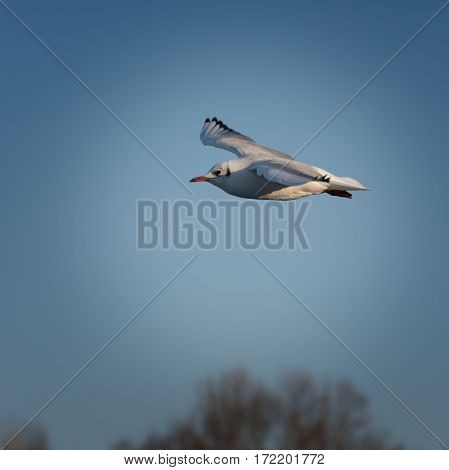 Beautiful seagull in flight against a blue sky