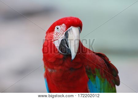 An up close look at the face of a scarlet macaw bird.