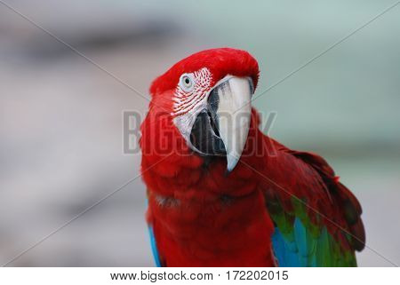 A scarlet macaw bird with interesting pattern by his eye.