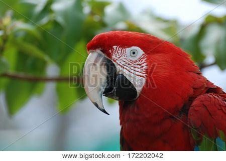Fantastic look at a scarlet macaw in the tropics.