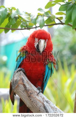Scarlet macaw clinging to a log amongst tropical trees.