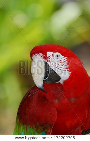 A quick view of a scarlet macaw bird in a tree.
