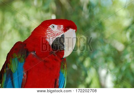 Gorgeous tropical red macaw perched in a tree.