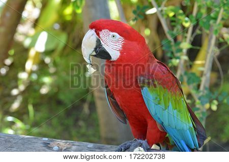 Scarlet macaw bird eating a piece of bread crumbs.
