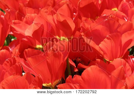 Lots of red colorful tulips (latin name: tulipa gesneriana)