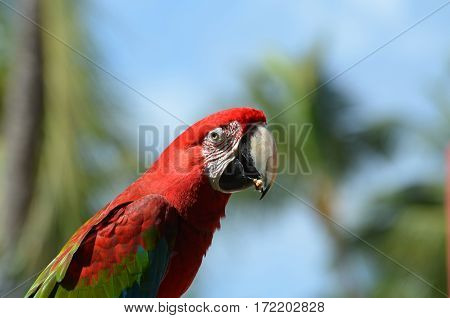 Scarlet macaw in the tropics eating a seed.