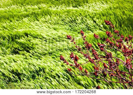 Wild red flowers on a background of wheat fields of emerald green in the Himalayan mountains. Nepal. Marfa Village.