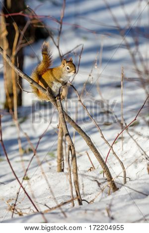Vertical image of a Red squirrel (Tamiasciurus hudsonicus) on a branch in winter.