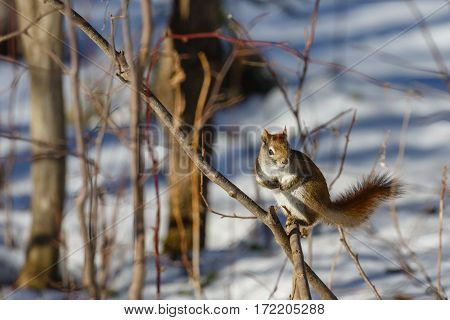 Red squirrel (Tamiasciurus hudsonicus) standing on a branch with arms tucked in.