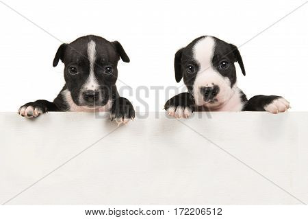Two cute black and white stafford terrier puppies hanging over an empty off-white wooden bord with space for text on a white background