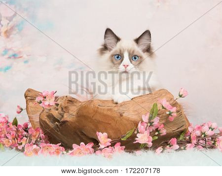Pretty ragdoll baby cat lying in a wooden scale facing the camera with blue eyes on a romantic background with flowers and soft pastel colors