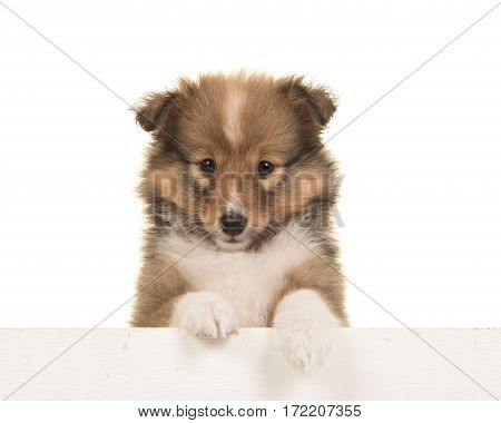 Cute shetland sheepdog puppy portrait hanging over an white border on a white background