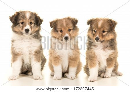 Litter of three shetland sheepdog puppy dogs sitting next to each other on a white background