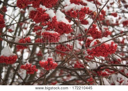 Branches mountain ash covered with snow in beautiful winter forest.