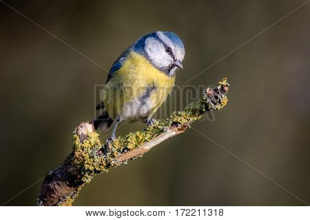 Eurasian blue tit Cyanistes caeruleus perched on a branch against a natural background looking slightly down and to the right