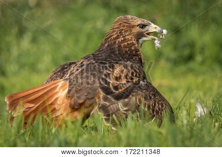 Red tailed hawk on the grass with its wings spread protecting its prey, with feathers on its beak and on the grass