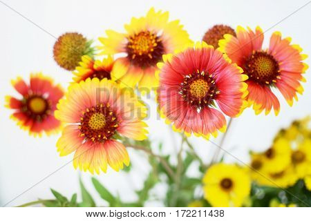 Echinacea red and yellow flowers nature background