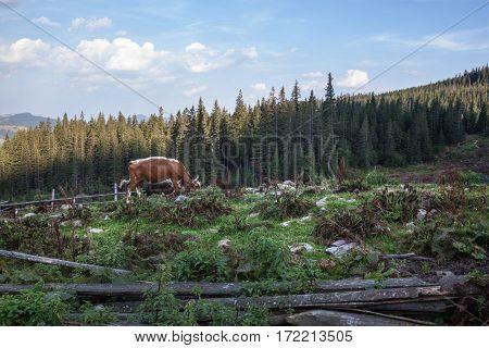 Cows grazing on the pasture in the Ukrainian Carpathians.