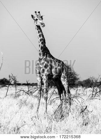 Giraffe standing in the savanna. African wildlife safari scene in Etosha National Park, Namibia, Africa. Black and white image.