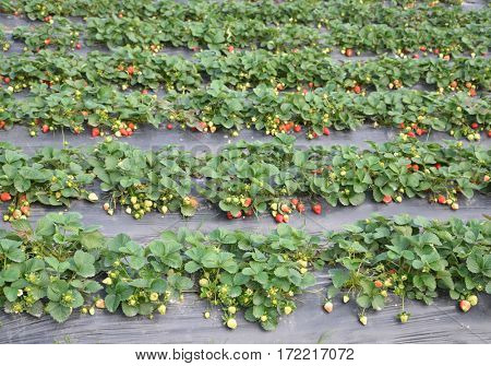 Strawberry cultivation fields
