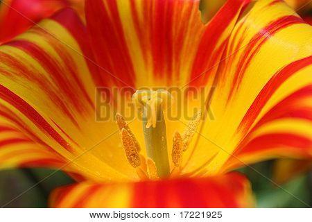 Striped Tulip Closeup
